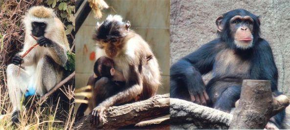 Primates. (Ist)